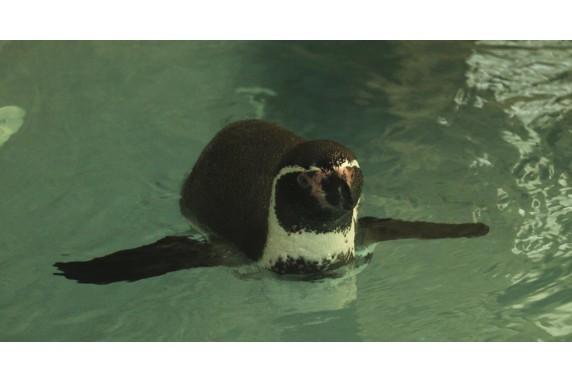 Впервые! Пингвины в зоопарке